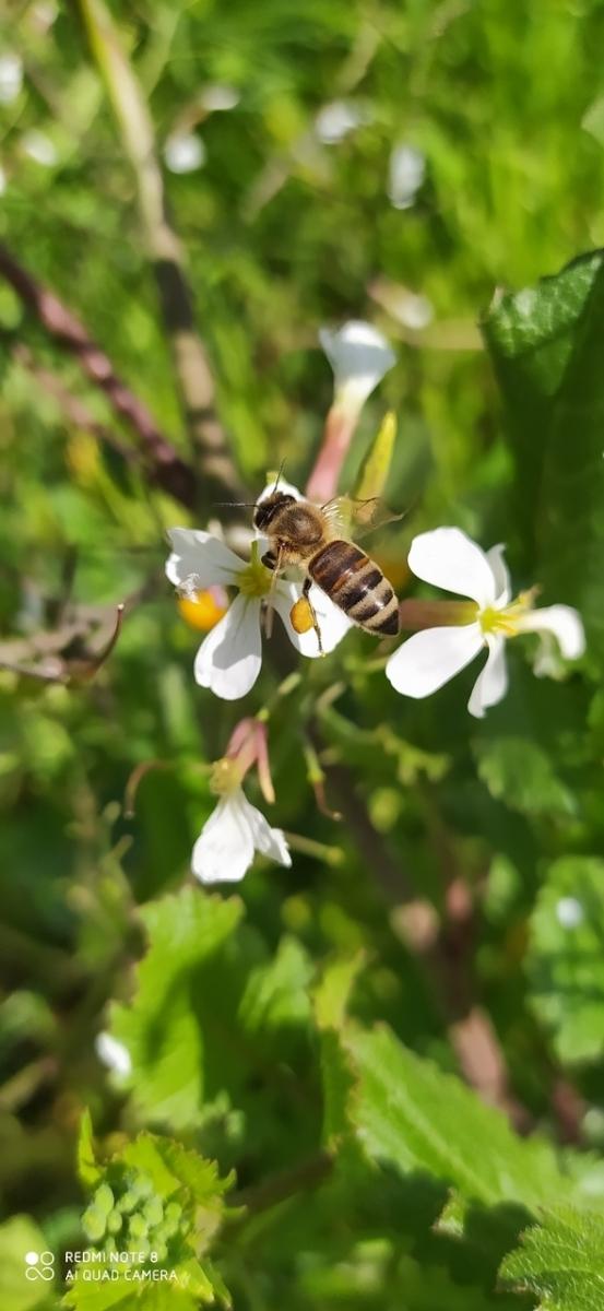 Γύρη αποθηκευμένη στα πόδια της μέλισσας κατα την συλλογή της