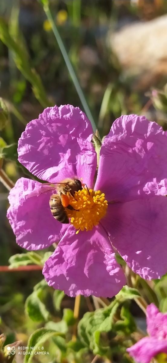 Γύρη στα πόδια της μέλισσας κατα την συλλογή της.