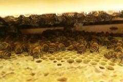 Μια ματιά ανάμεσα στα πλαίσια εν ώρα εργασίας του μελισσιού