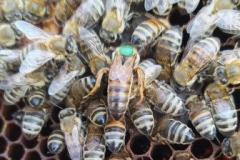 Η βασίλισσα του μελισσιού μαρκαρισμένη