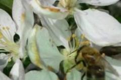 Άνθος μηλιάς - #Apple_blossom