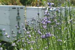 Μελίσσια σε λεβάντα 1 - Beehives in lavender 1
