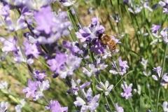 Άνθος λεβάντας 1 - #Lavender_flower 1