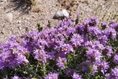 Άνθος θυμαριού - #Thyme_flower