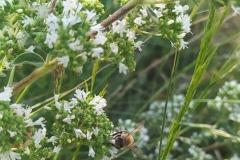 Άνθος άγριας ρύγανης - #Wild_oregano_flower